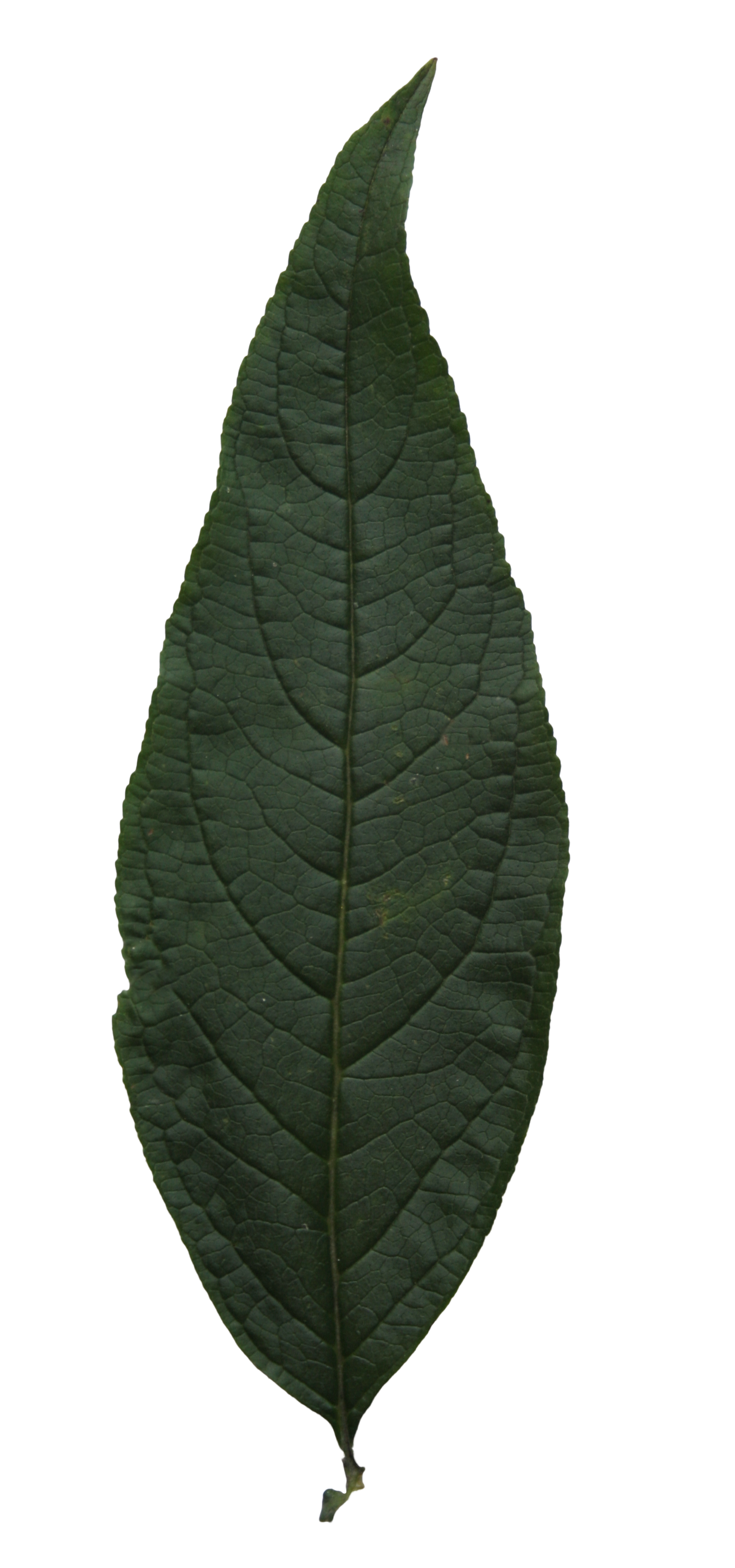 Free high resolution leaf texture | Free Cut Out people ...