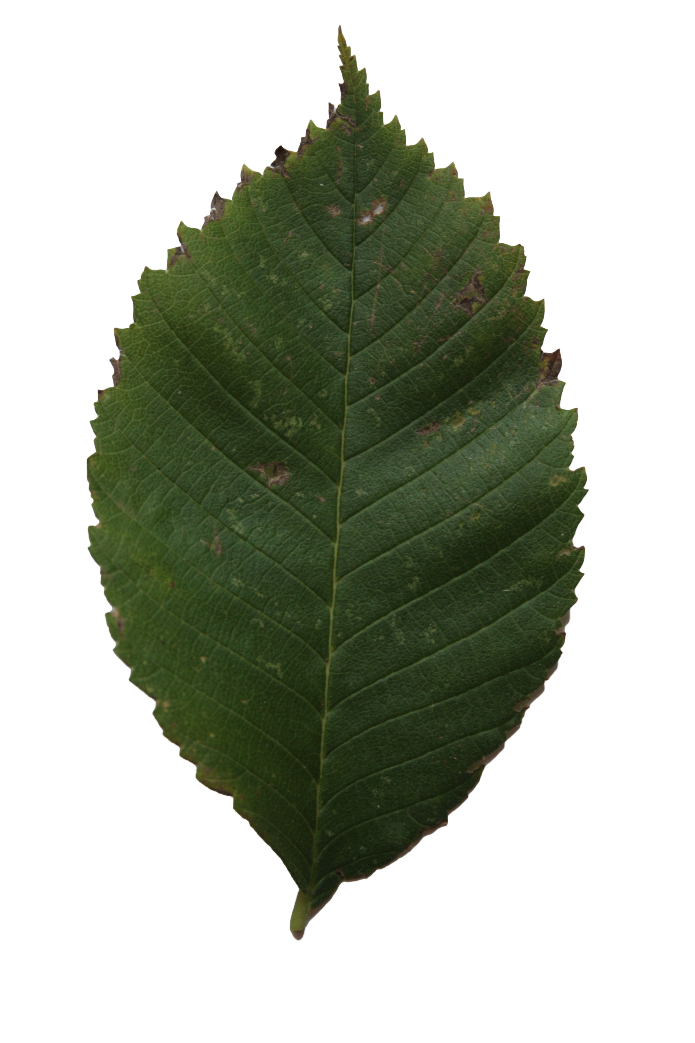 Linden leaf texture | Free Cut Out people, trees and leaves