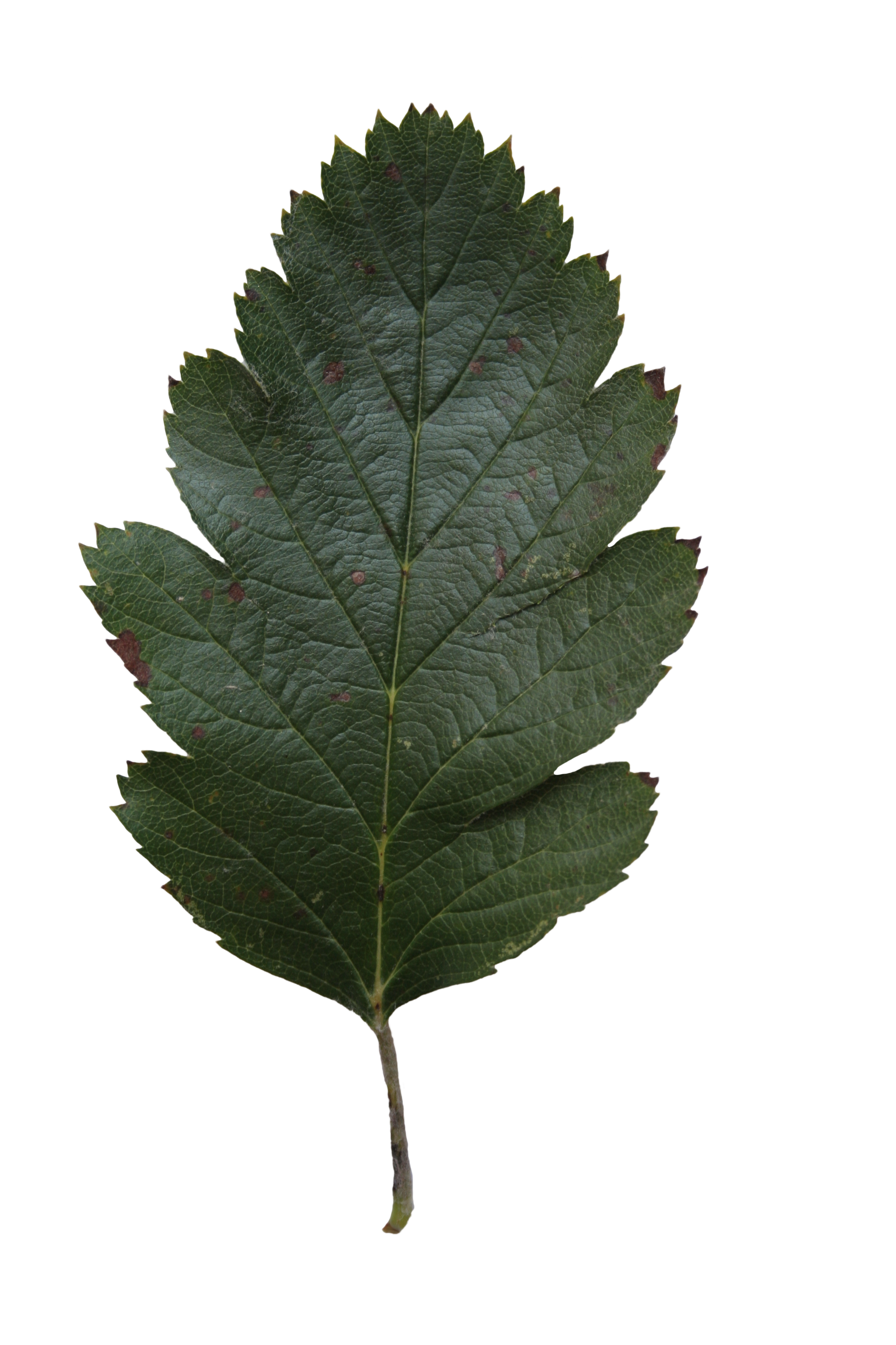 Oak leaf texture | Free Cut Out people, trees and leaves