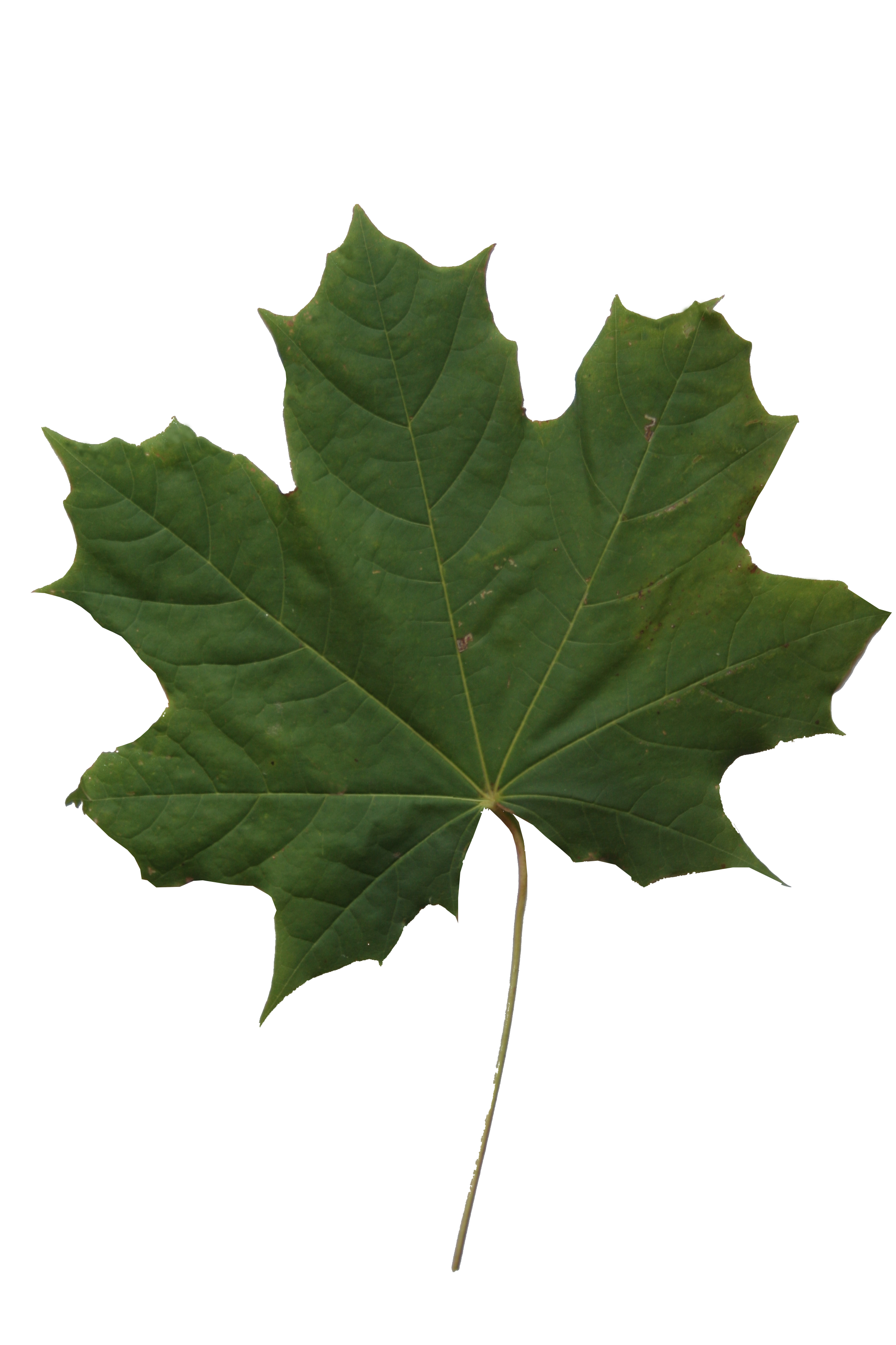 Maple Leaf Texture Free Cut Out People Trees And Leaves Find the best free stock images about leaf texture. maple leaf texture free cut out
