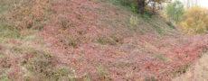 vegetation red grass